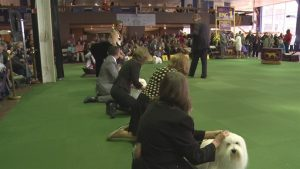 Westminster Breed Judging 2015